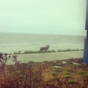 Coyote at lakefront. Photo by Anna Buchanan.